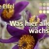 Botanischer Reiseführer für die Eifel